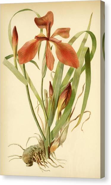 Iris Cuprea Copper Iris.  Canvas Print