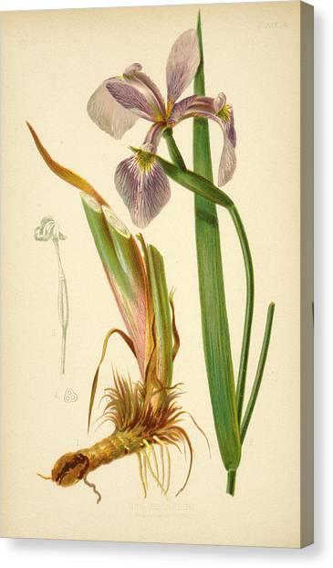 Iris Versicolor Blue Flag Canvas Print