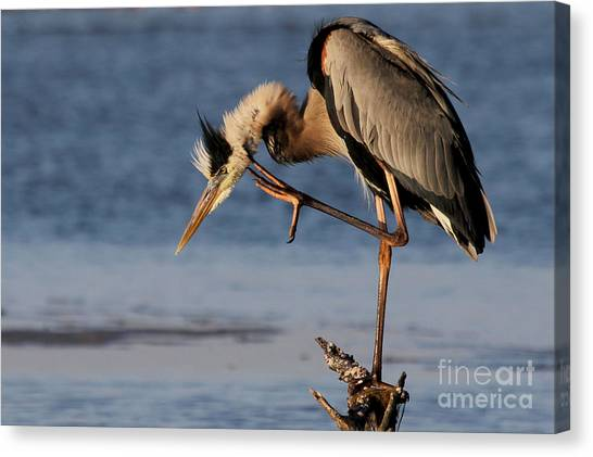 Itchy - Great Blue Heron Canvas Print