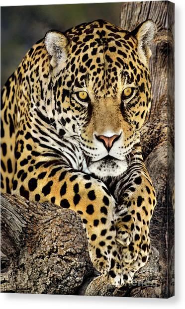 Jaguar Portrait Wildlife Rescue Canvas Print