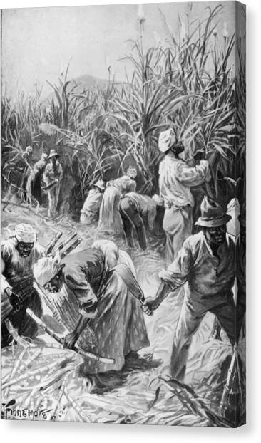Jamaican Cane Cutters Canvas Print by Hulton Archive
