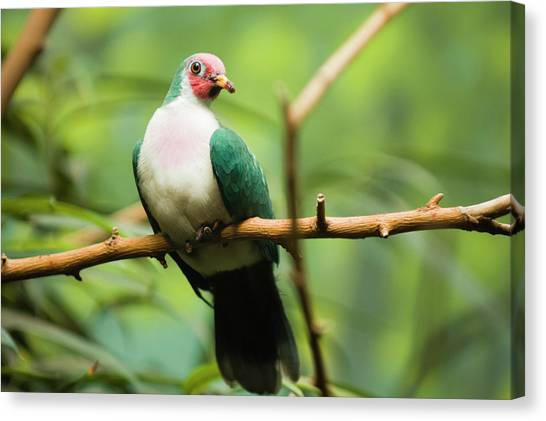Jambu Fruit Dove Ptilinopus Jambu Canvas Print