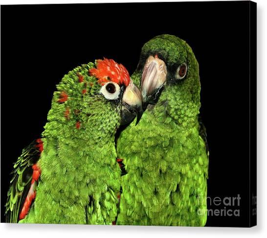 Jardine's Parrots Canvas Print