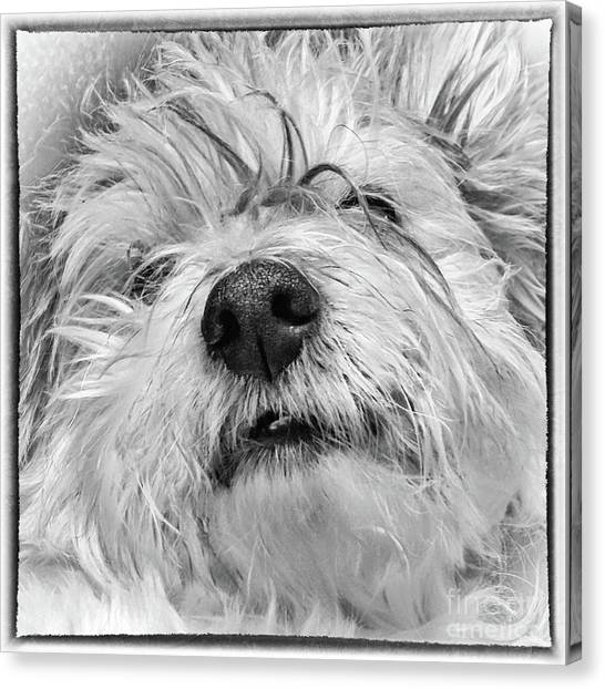 Coton De Tulear Dog Canvas Print