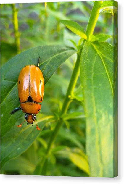 June Bug Canvas Print