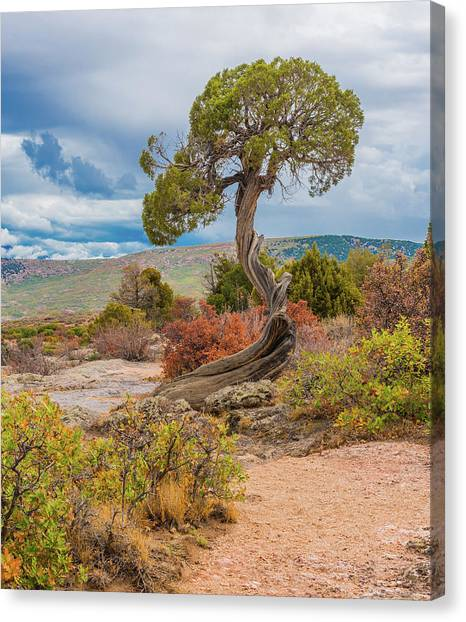 Juniper At Dragon Point Canvas Print