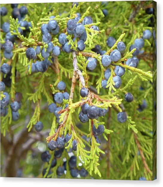 Juniper Berries Canvas Print
