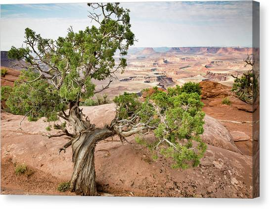 Juniper Over The Canyon Canvas Print