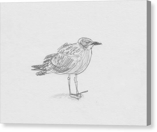 Kelp Gull Canvas Print