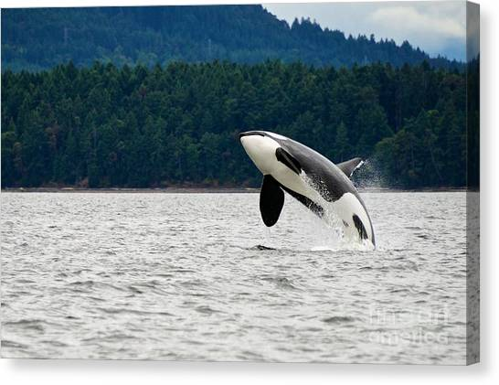 Vancouver Canvas Print - Killer Whale Breaching Near Canadian by Doptis