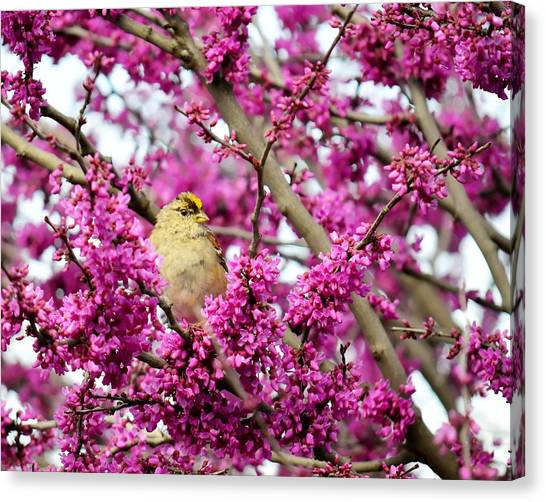 King Of The Redbud - Golden-crowned Sparrow Canvas Print