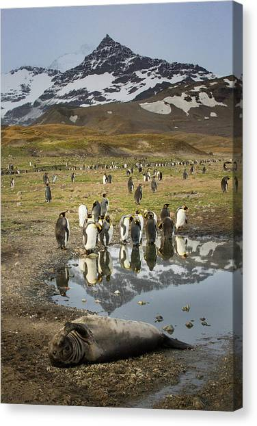 King Penguin Rookery Canvas Print by Tom Norring