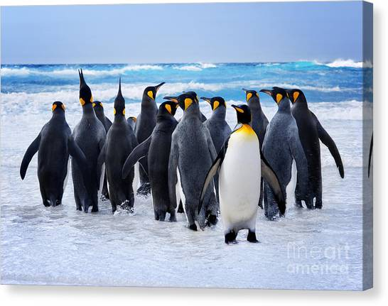 Stunning Canvas Print - King Penguins Heading To The Water In by Kwest