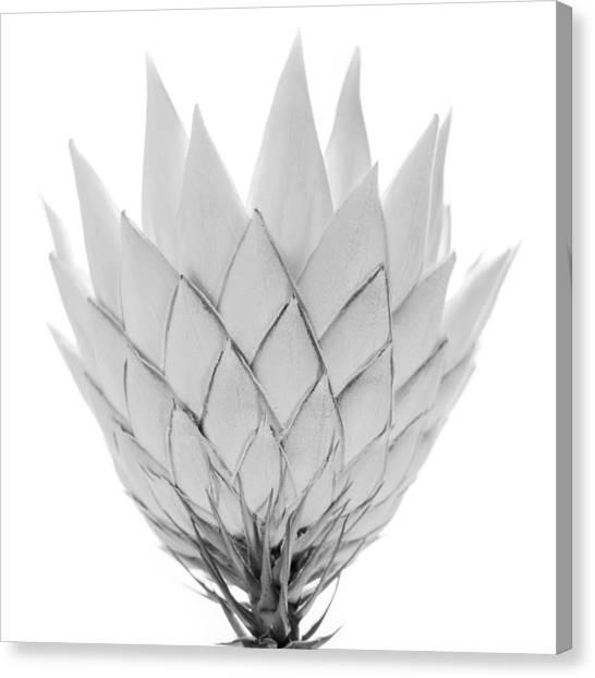 Canberra Canvas Print - King Protea by Michael John Hood