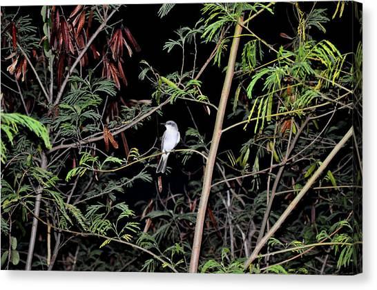 Kingbird At Night Canvas Print