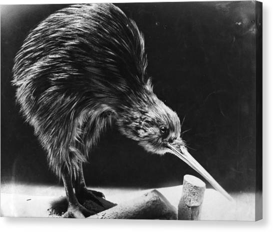 Kiwi Canvas Print by Hulton Archive