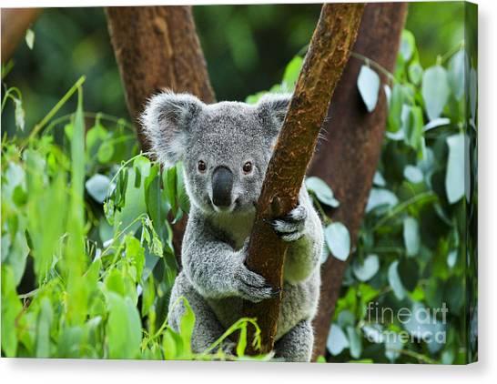 Grey Background Canvas Print - Koala Bear In The Zoo by Rickyd