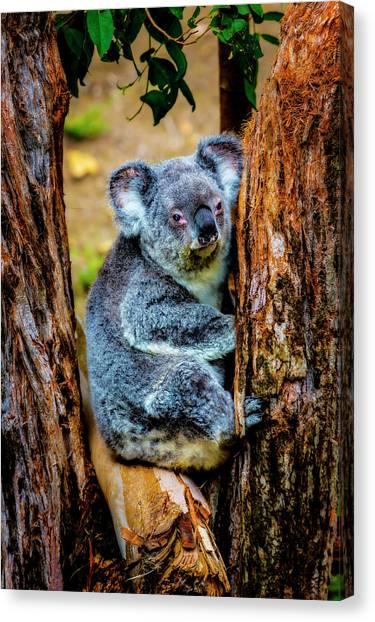 Koala Canvas Print - Koala Resting In Tree by Garry Gay