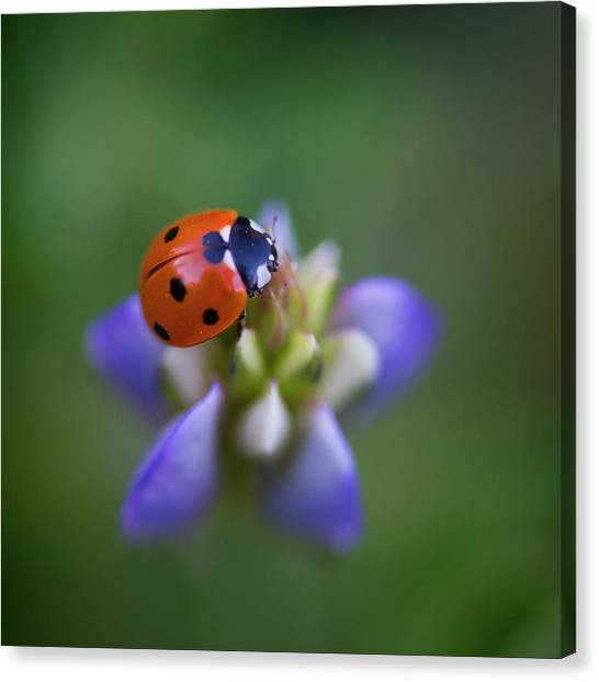 Canvas Print featuring the photograph Lady Bug by John Rodrigues