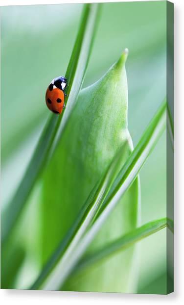 Blade Of Grass Canvas Print - Ladybug by Andrew Dernie