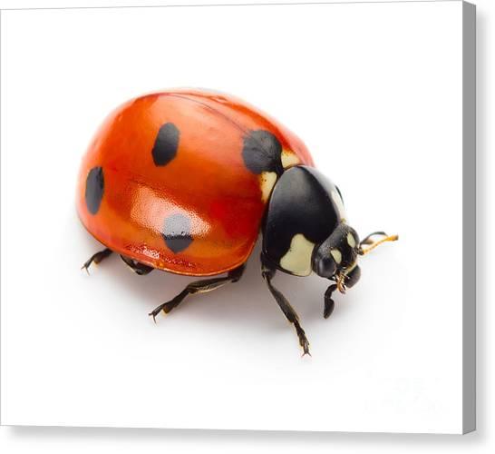 Zoology Canvas Print - Ladybug Insect Isolated On White by Valentina Proskurina