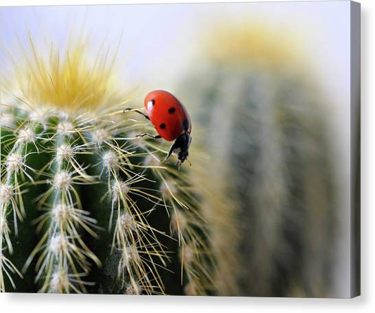 Ladybug On Cactus Canvas Print