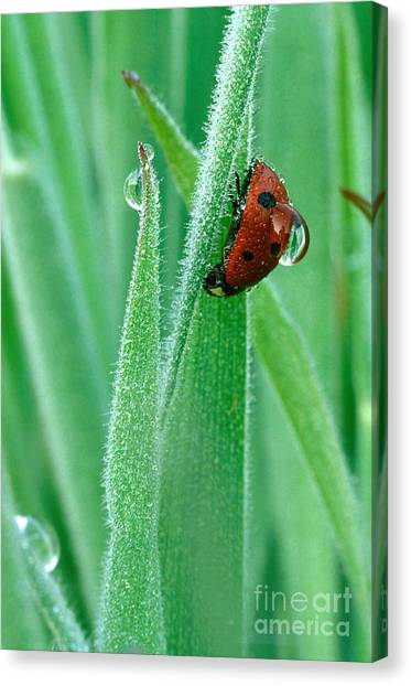 Lady Canvas Print - Ladybug With Large Dew Droplet On Back by Marc Parsons