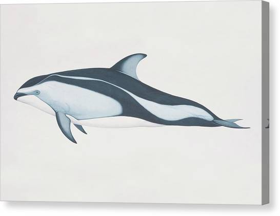 Lagenorhynchus Obliquidens, Pacific Canvas Print by Martin Camm