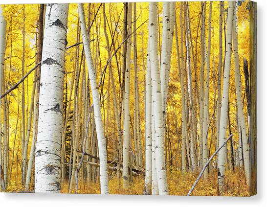 Landscape Autumn Aspen Forest Yellow Canvas Print