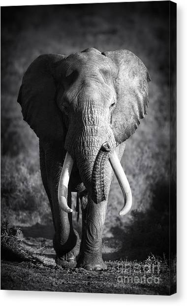 Large Elephant Bull Approaching Canvas Print by Johan Swanepoel