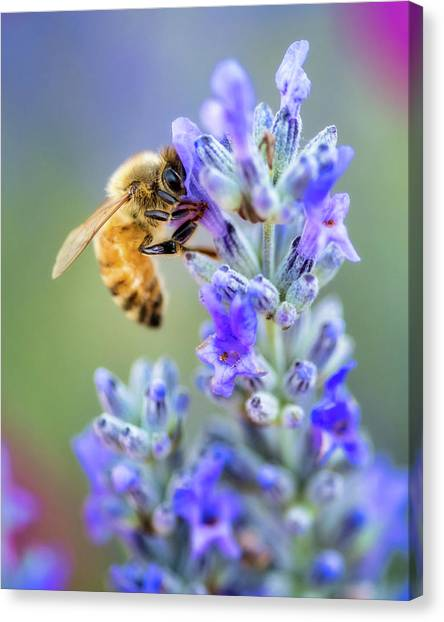 Canvas Print featuring the photograph Lavender Bee by Nicole Young