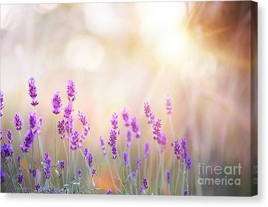 Bush Canvas Print - Lavender Bushes Closeup On Sunset by Kotkoa