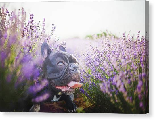 French Bull Dogs Canvas Print - Lavender Field French Bulldog by WokeAsFluff