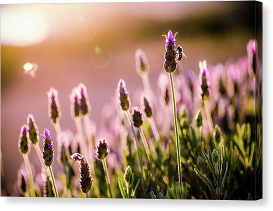Lavender Sunrise Canvas Print