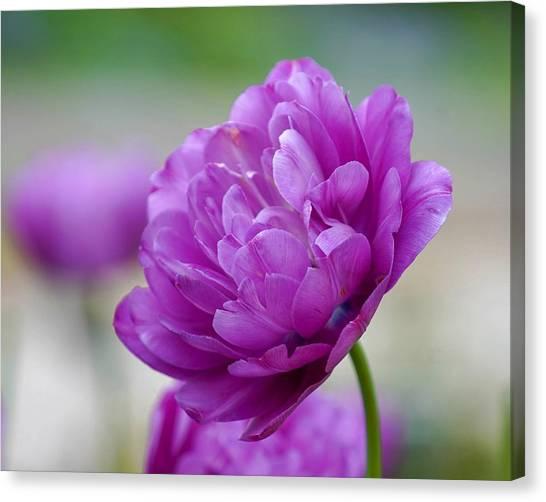 Lavender Tulip Canvas Print