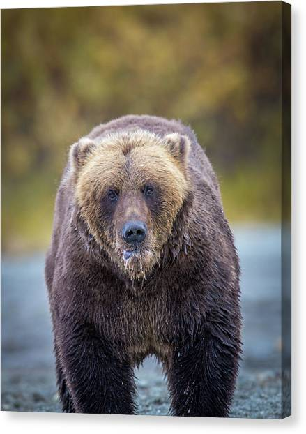 Lazy C Angry  Canvas Print