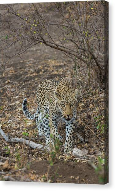 Canvas Print featuring the photograph LC2 by Joshua Able's Wildlife