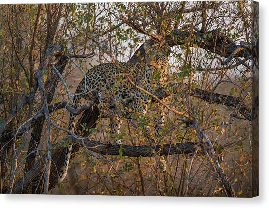 Canvas Print featuring the photograph LC6 by Joshua Able's Wildlife