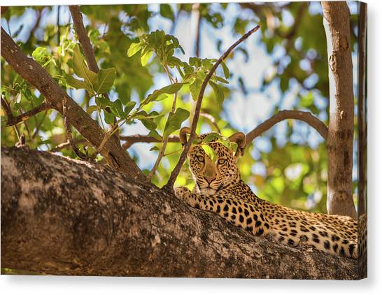 Canvas Print featuring the photograph LC9 by Joshua Able's Wildlife