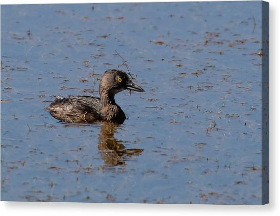 Least Grebe Canvas Print