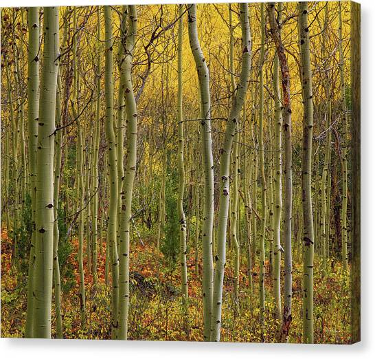 Lemhi Aspens Canvas Print by Leland D Howard