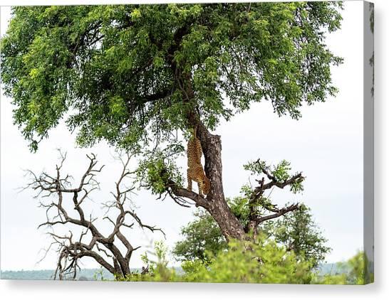 Leopard Descending A Tree Canvas Print