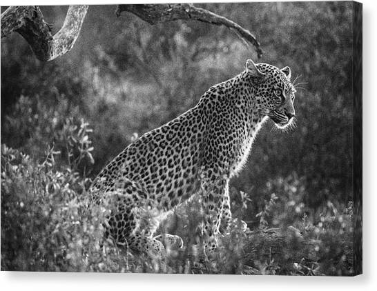 Leopard Sitting Black And White Canvas Print