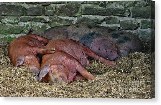 Canvas Print featuring the photograph Let Sleeping Pigs Lie by PJ Boylan