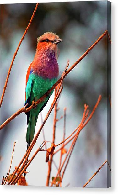 Canvas Print featuring the photograph Lilac Breasted Roller by John Rodrigues