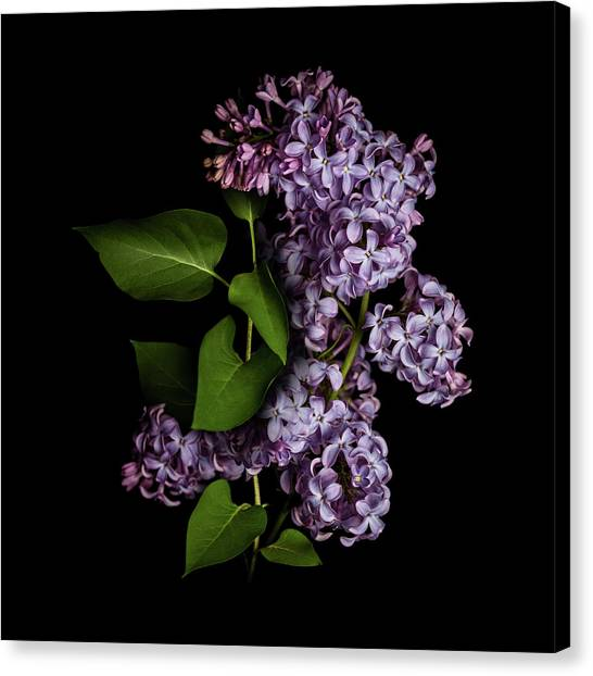 Lilac Bush Canvas Print - Lilac Isolated On Black Background by Sankai