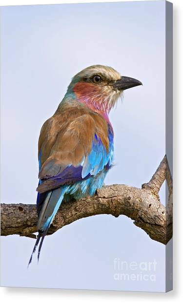 Southern Africa Canvas Print - Lilacbreasted Roller Coracias Caudata by Johan Swanepoel