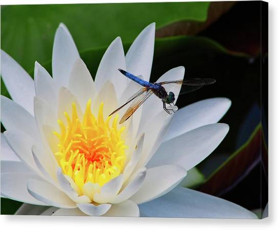Lily And Dragonfly Canvas Print