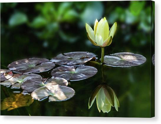 Lily In The Pond Canvas Print