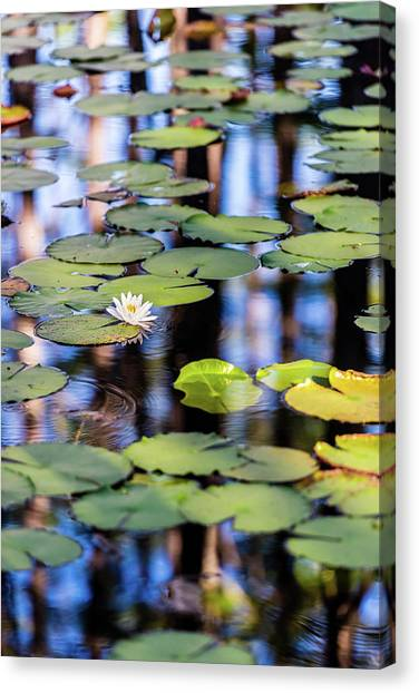 Lilypad Cypress Pond Canvas Print